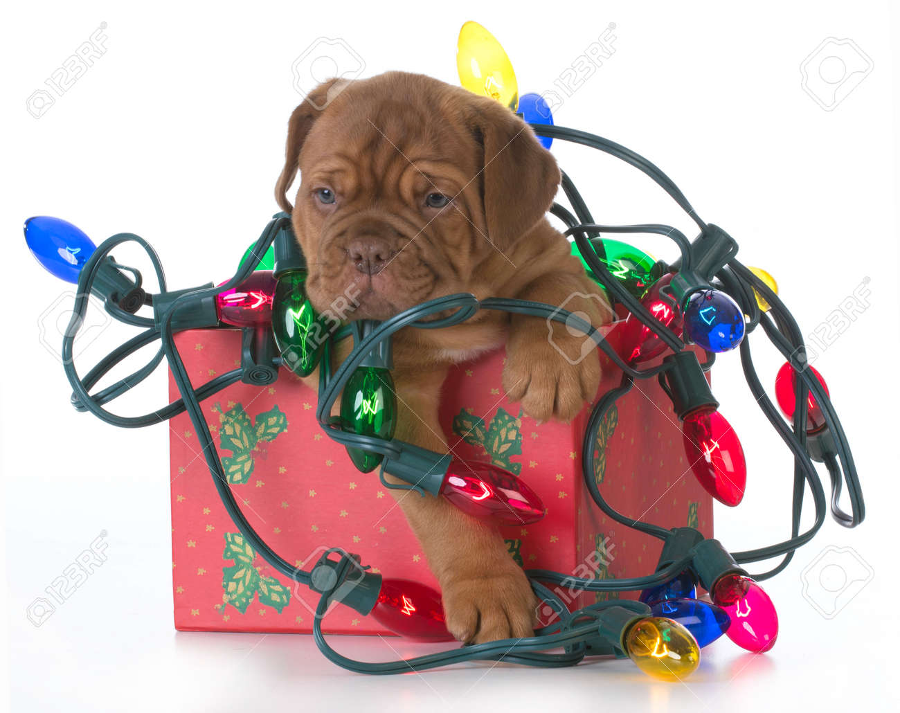 Christmas Puppy - Dogue De Bordeaux Puppy In A Christmas Present ...