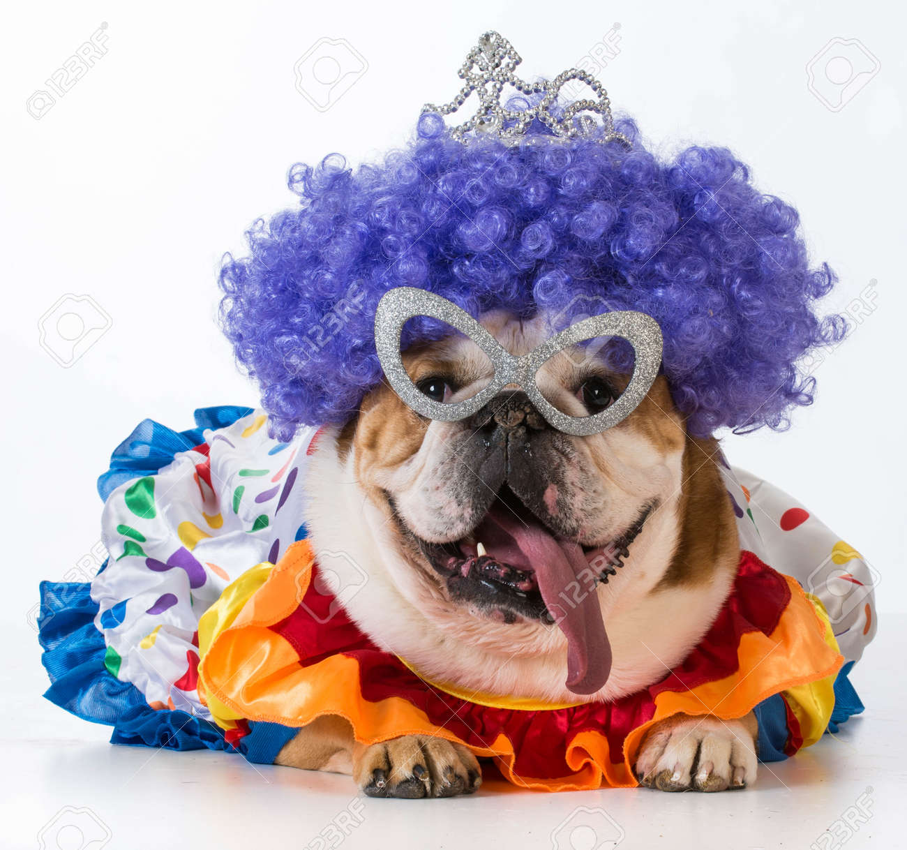 funny dog - english bulldog dressed up like a clown on white background - 37177140