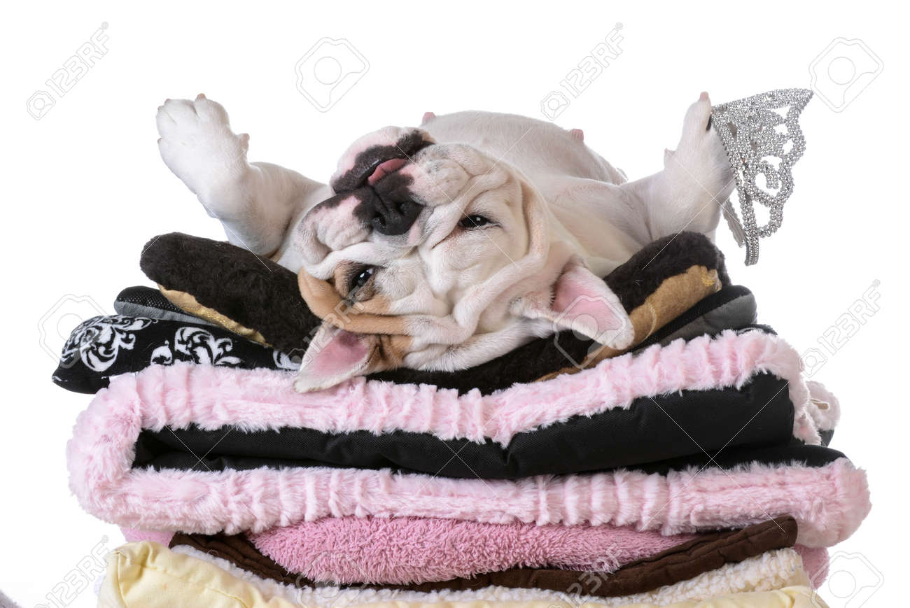 spoiled dog laying on a pile of soft dog beds isolated on white