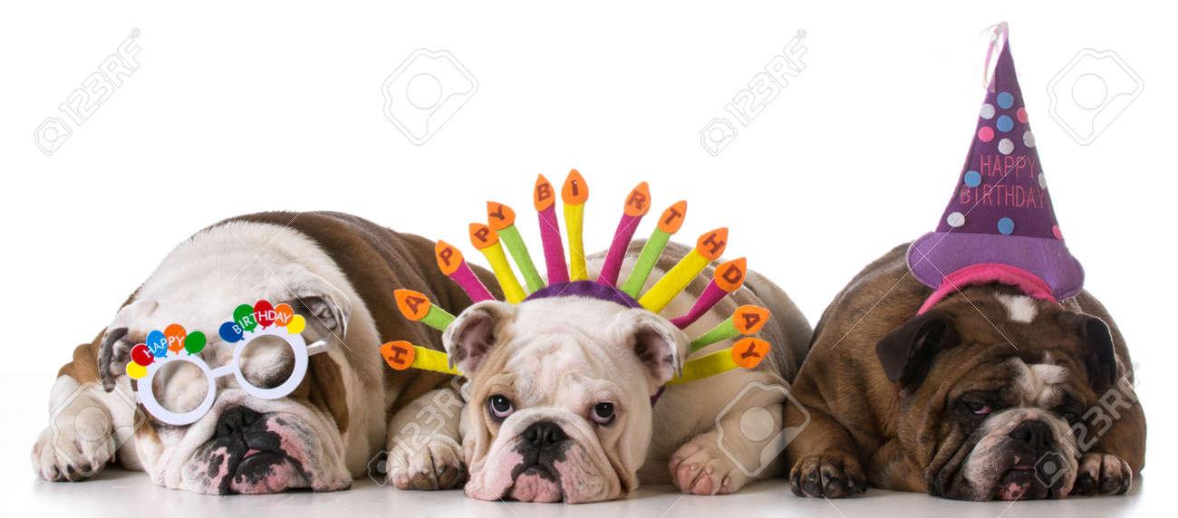 Geburtstag Hunde Drei Englisch Bulldogs Auf Weissem Hintergrund