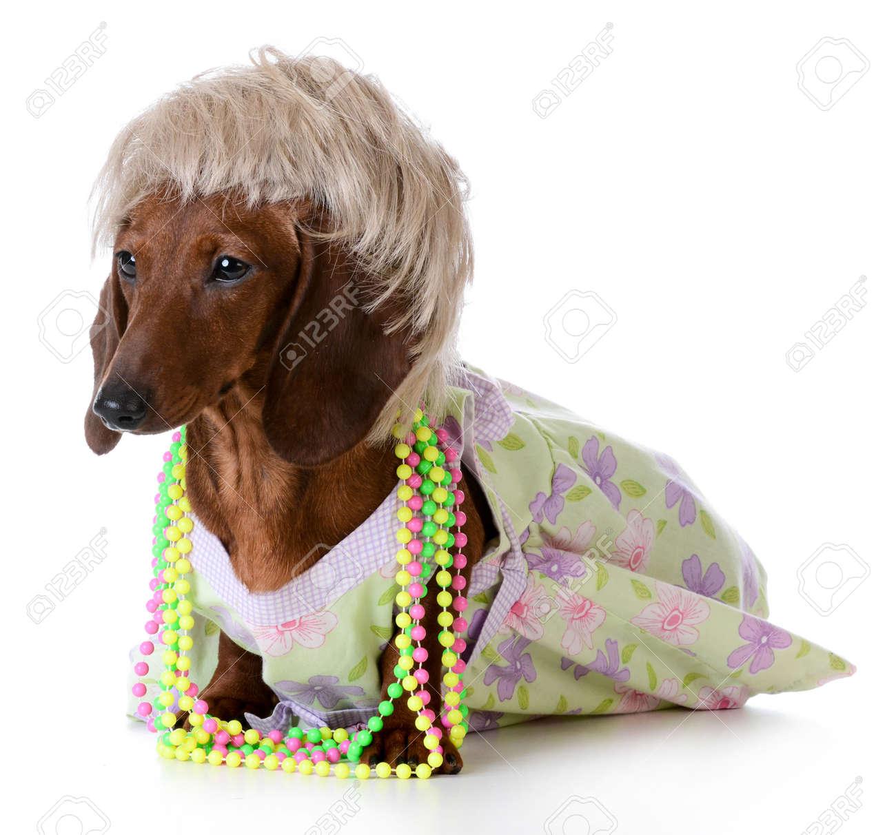 Female Dog Miniature Dachshund Wearing Wig And Clothing On Stock