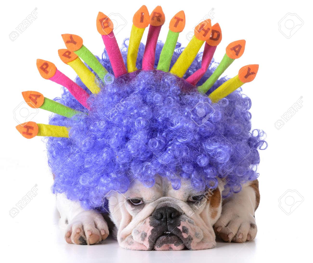 Geburtstags Hund Bulldogge Tragen Clown Perucke Und Geburtstag Hut