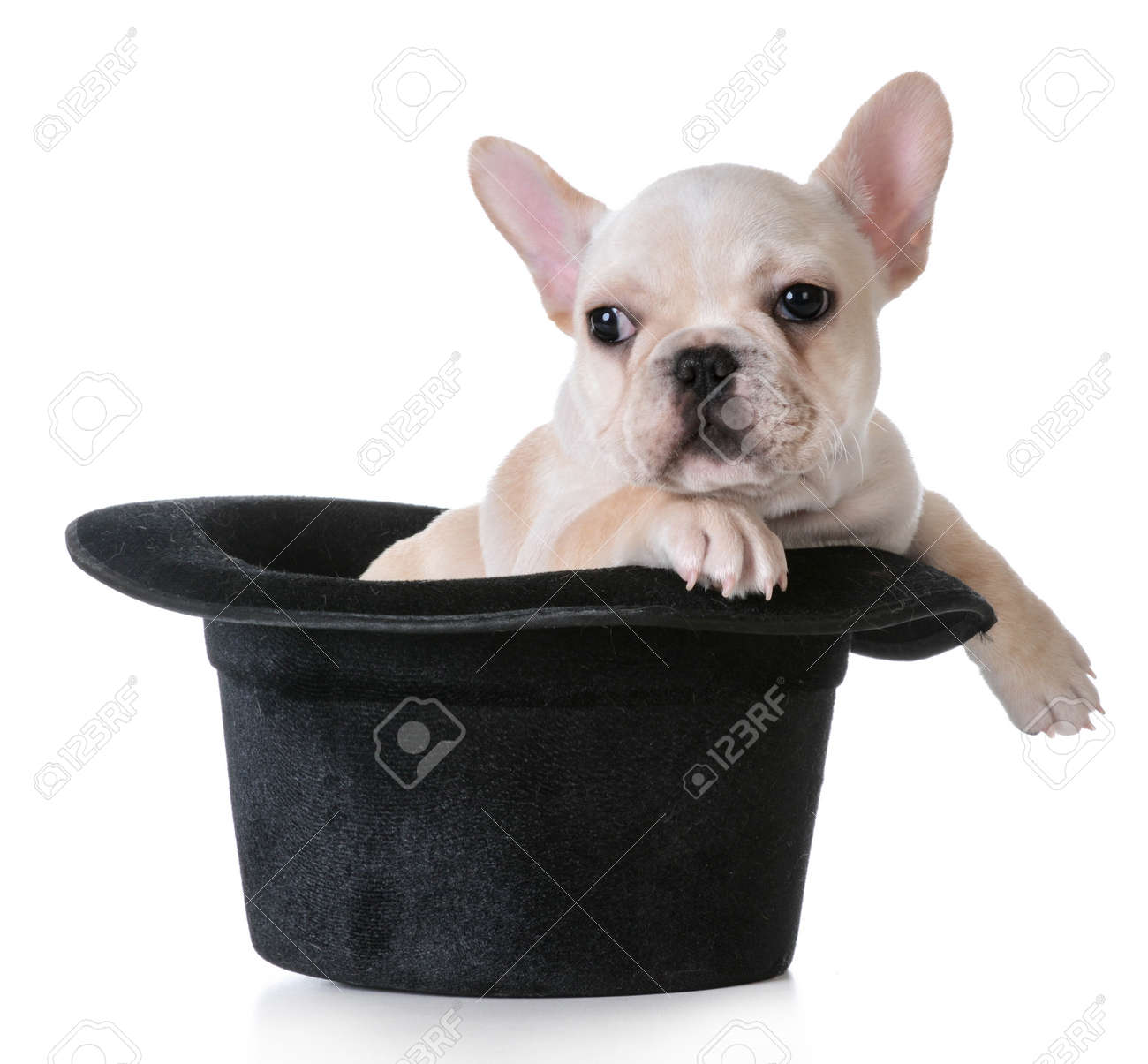 Cute Puppy French Bulldog Inside A Tophat On White Background