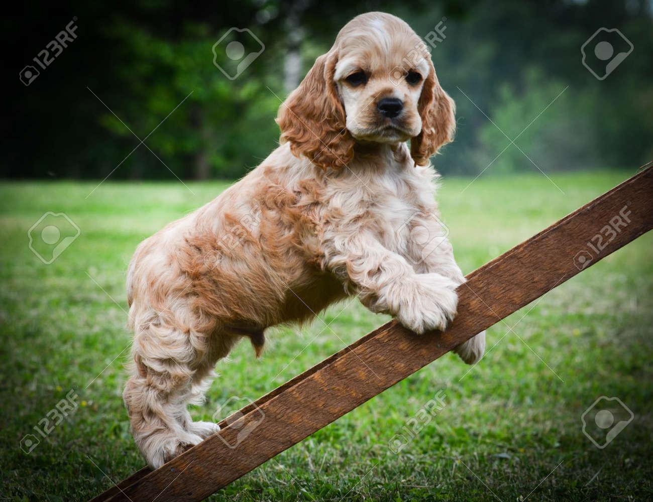 curious puppy climbing up a ladder american cocker spaniel stock