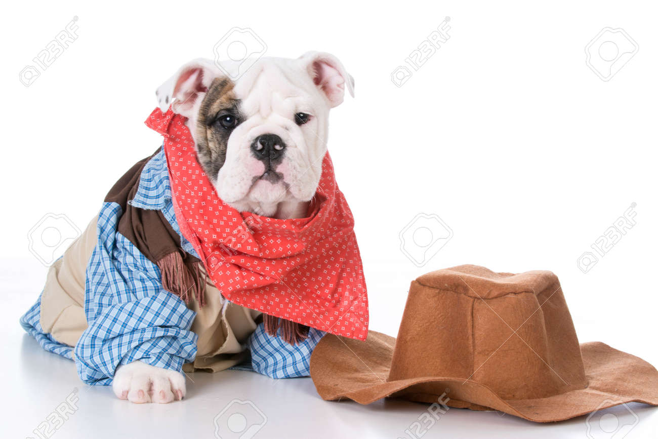 Cute English Bulldog Puppy Wearing Western Cowboy Costume On Stock