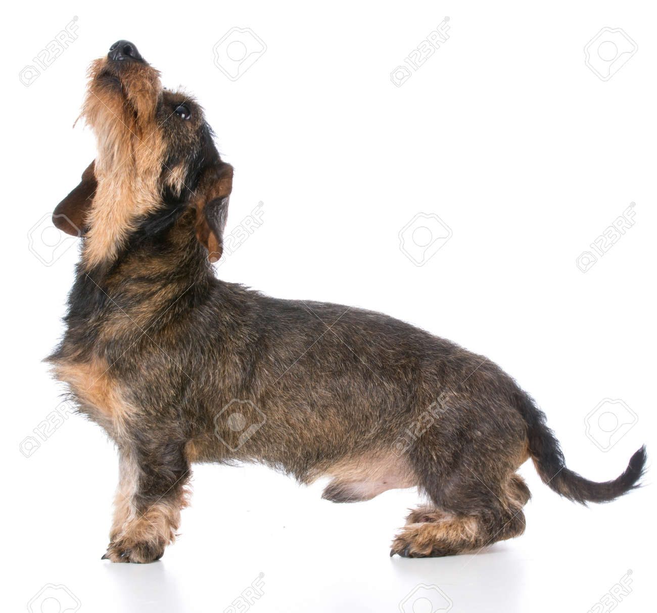 Miniature Wirehaired Dachshund Looking Up On White Background Stock ...