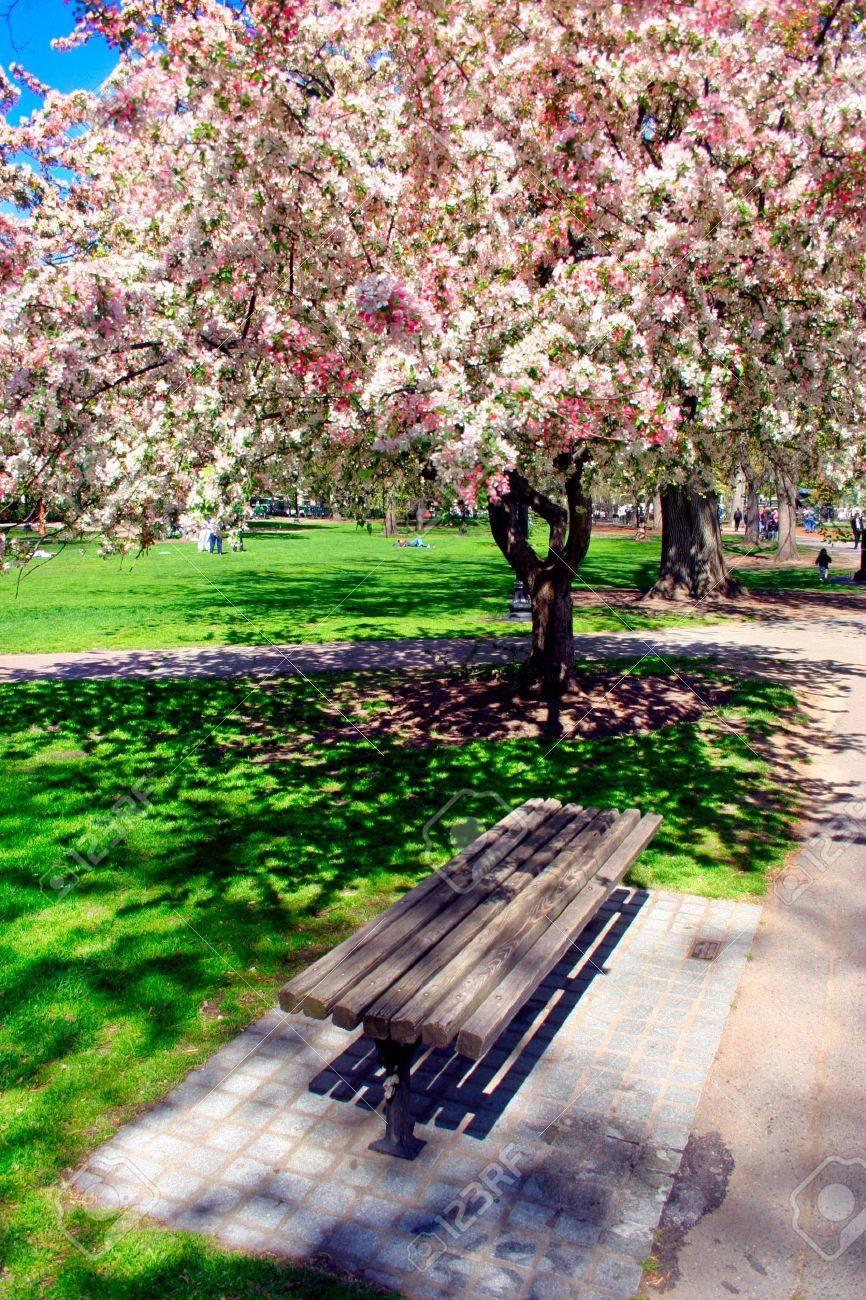 615136-Cherry-Blossom-in-Boston-Public-G