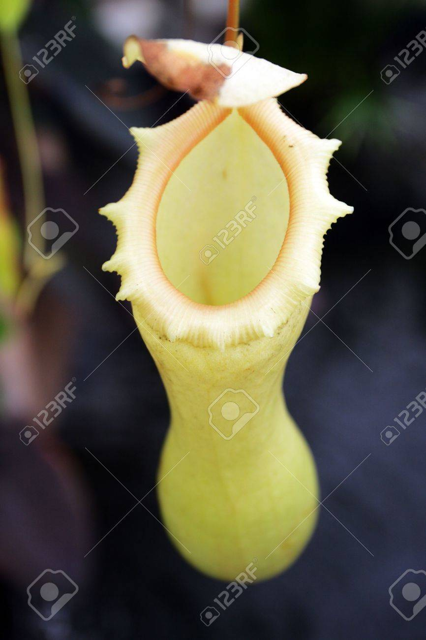 Pitcher plants are carnivorous plants whose prey-trapping mechanism features a deep cavity filled with liquid known as a pitfall trap Stock Photo - 6342681