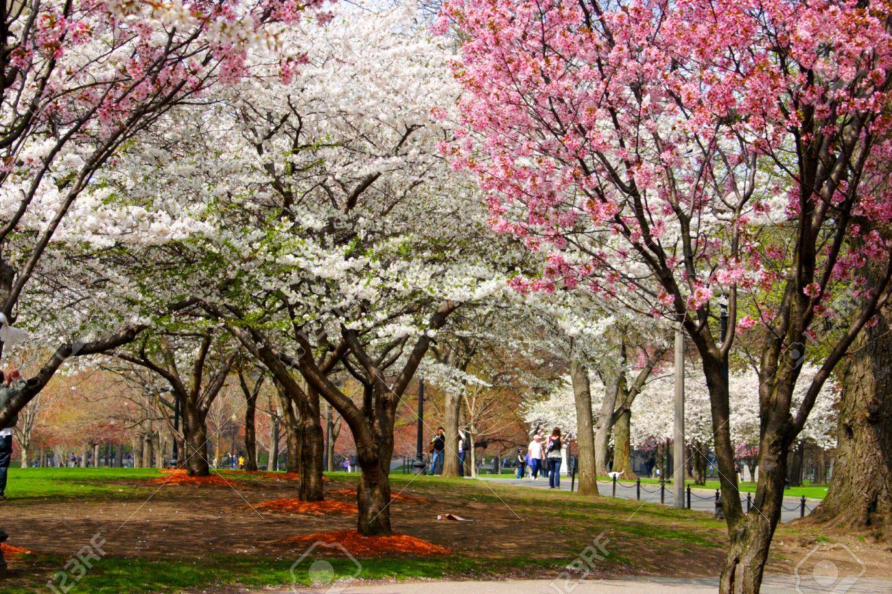 Cherry Blossom In Boston Public Garden During Spring Stock Photo ...