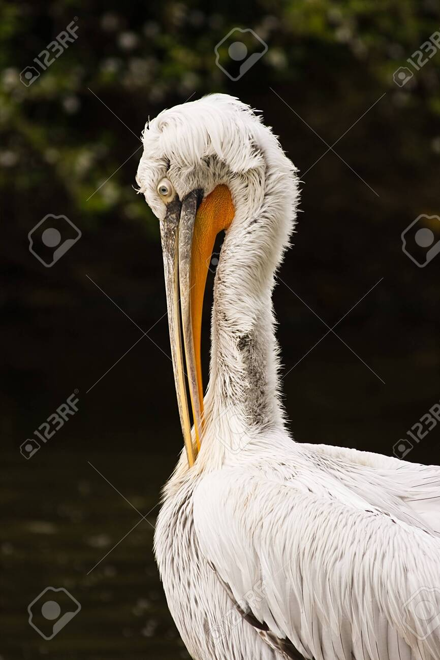 pelican making toilet in the morning sun Stock Photo - 4362781
