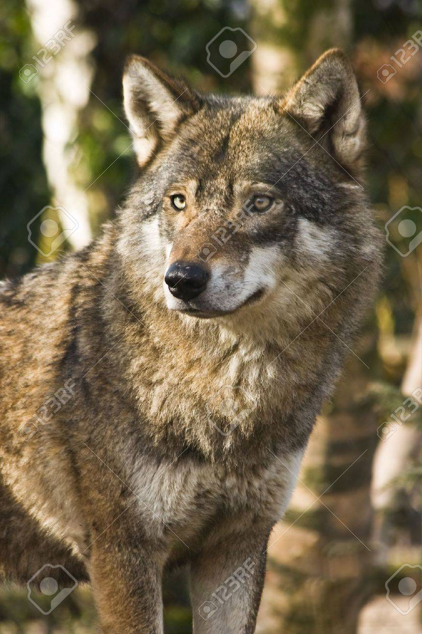 Grey wolf standing between birch trees in the winter sun Stock Photo - 4588079