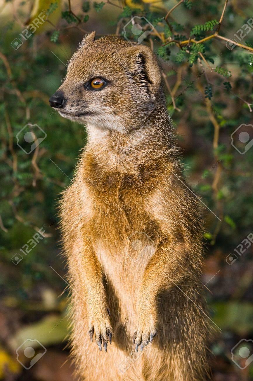 Red Meerkat Yellow mongoose or red meerkat