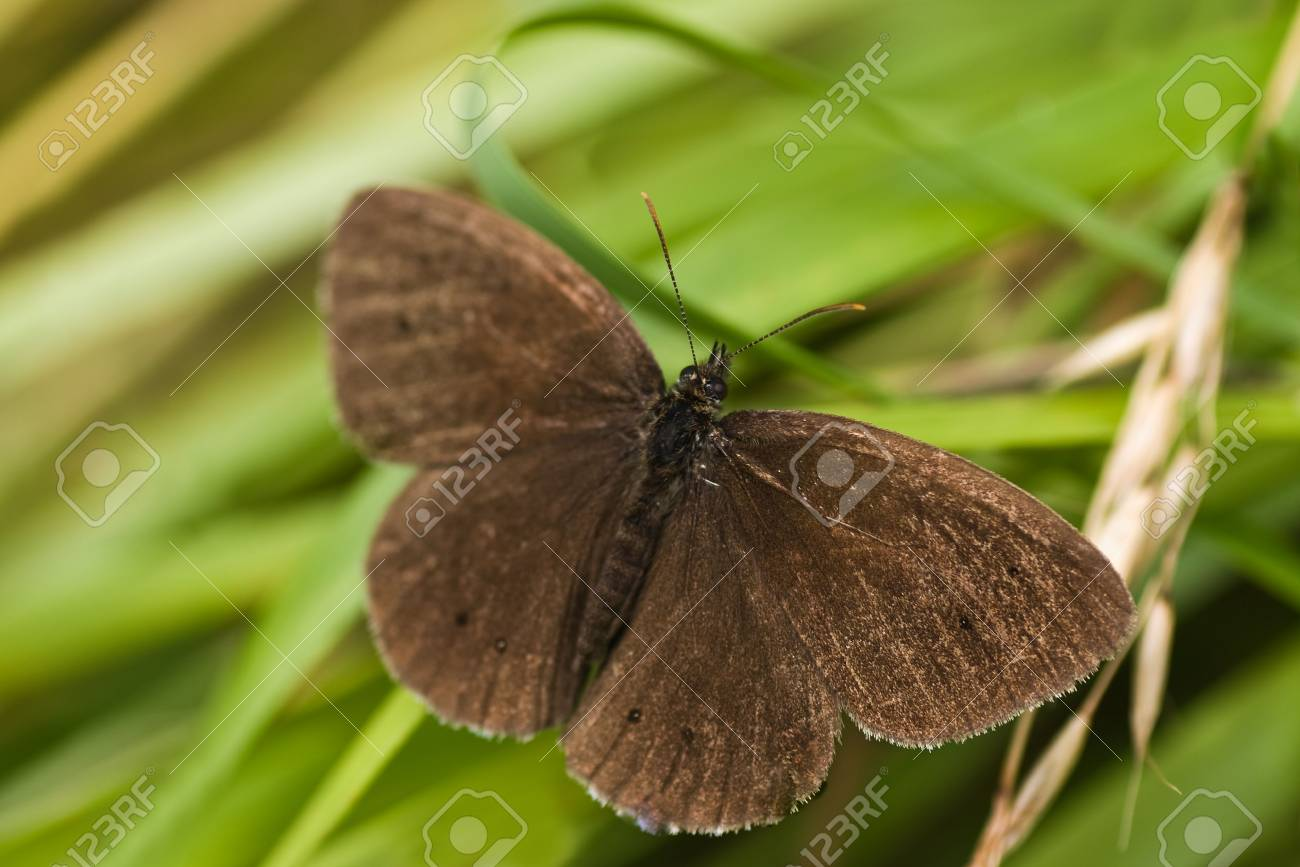 Ringlet butterfly sitting on long grass near the road Stock Photo - 5322540