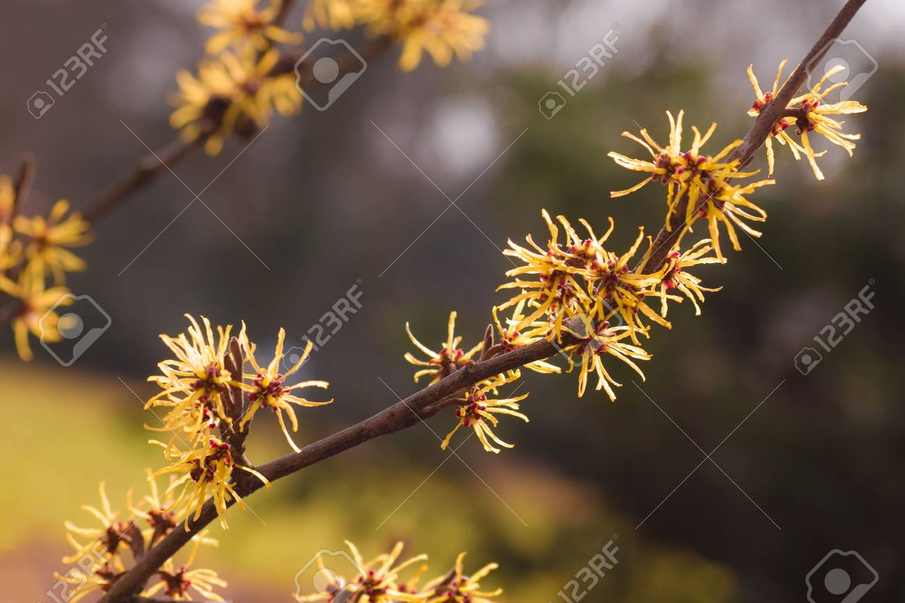 Flowering branches of yellow Witch-hazel in spring Stock Photo - 6653548