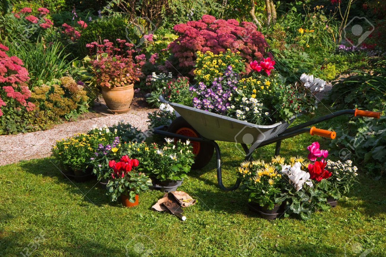Plante A Planter En Septembre brouette et les plateaux avec des plantes nouvelles, se préparant à la  plantation de nouvelles plantes dans le jardin tôt le matin septembre