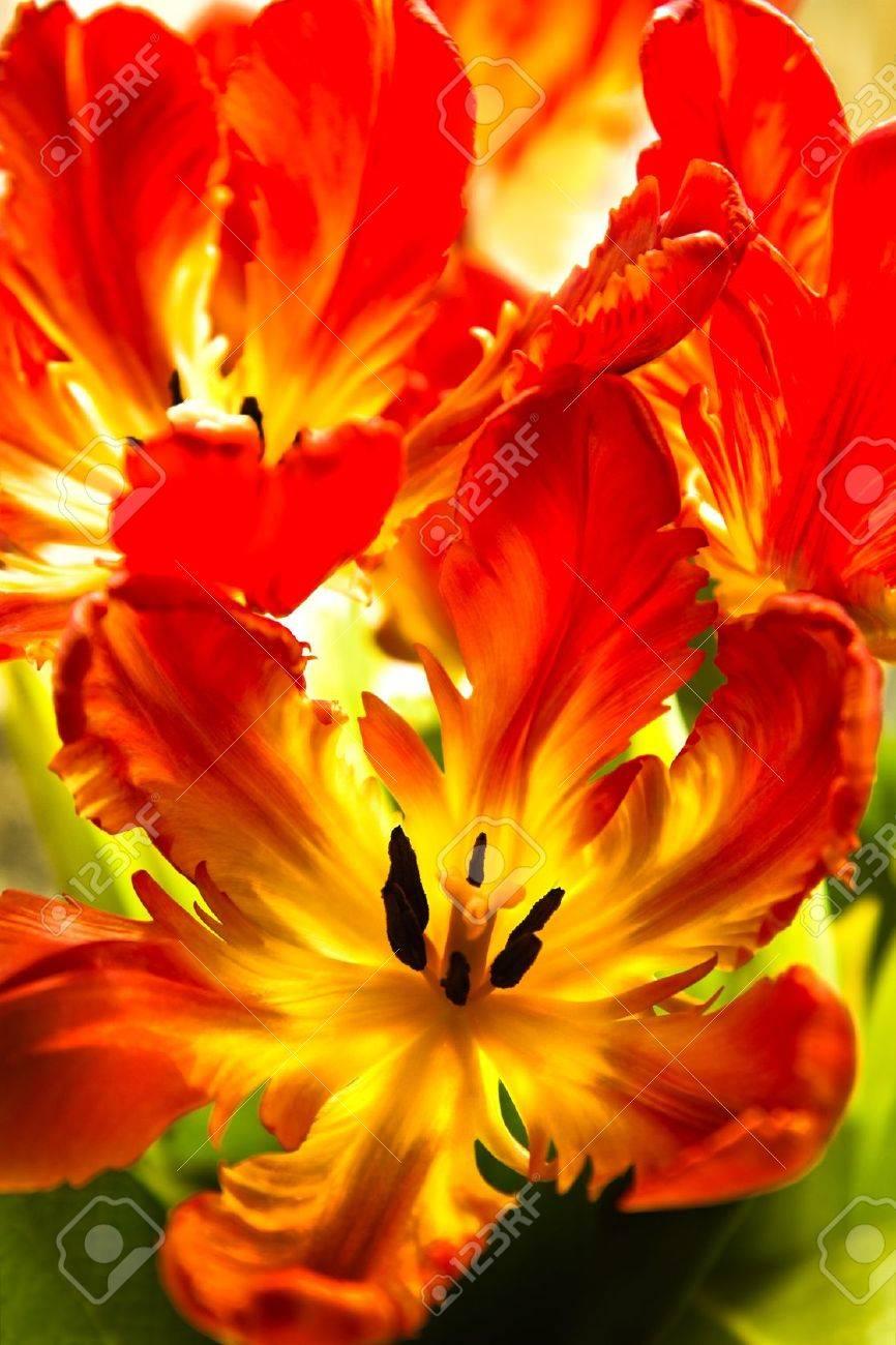 Parrot Tulpen - Lustige Frühlingsblumen Mit Gekräuselten ...