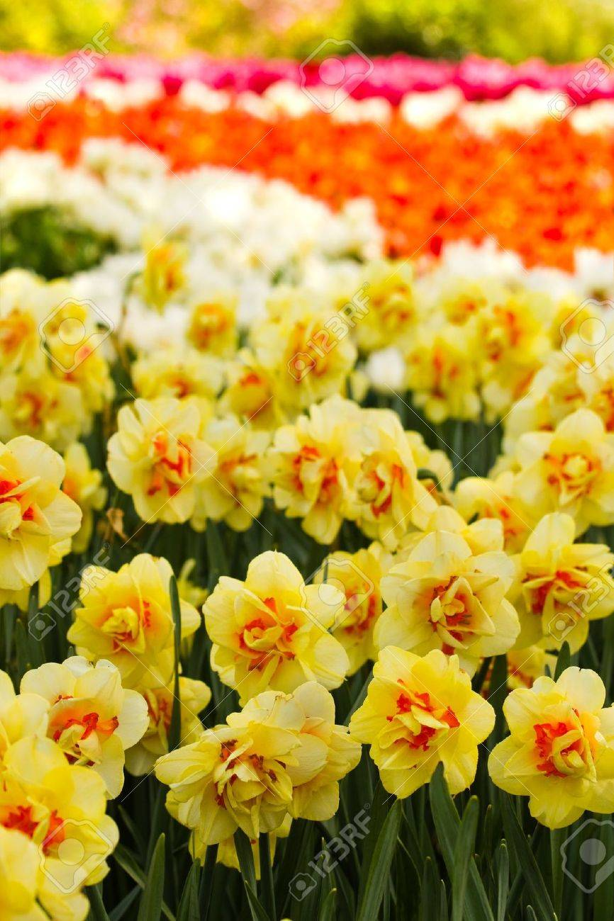 Double yellow daffodils blooming  in spring in park Stock Photo - 13523437