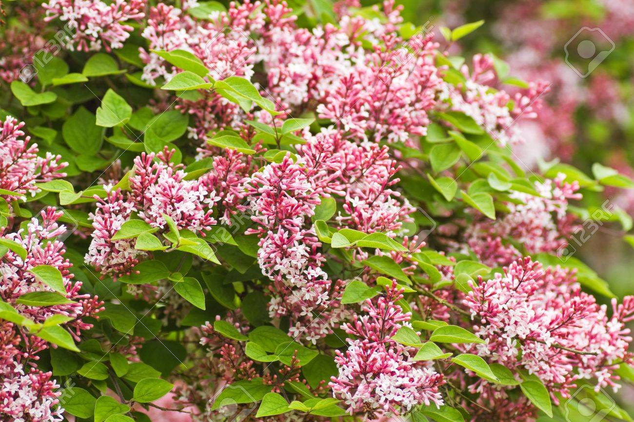 Tiny fragrant pink syringa microphylla flowers blooming in the tiny fragrant pink syringa microphylla flowers blooming in the garden in spring and late summer stock dhlflorist Choice Image