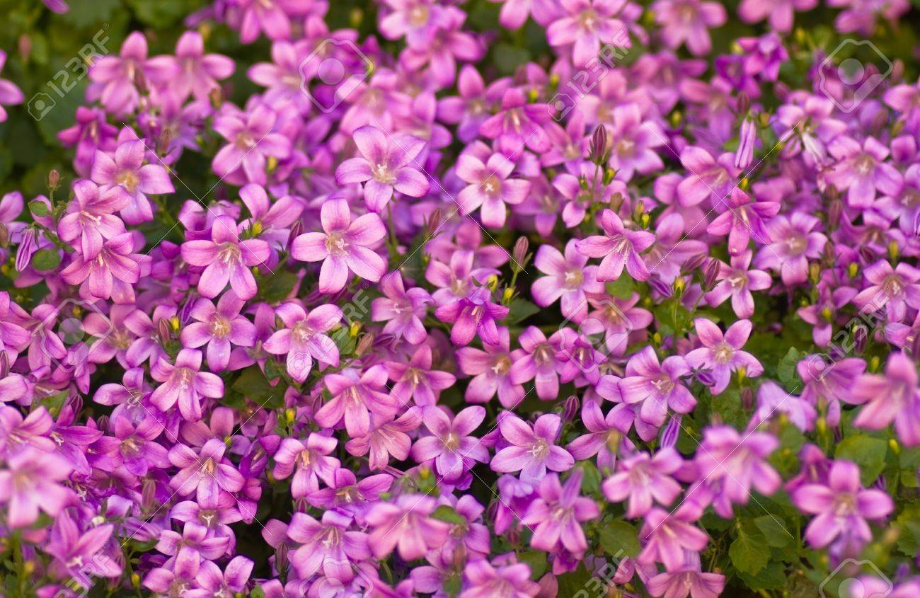 Tapestry Of Pink Bellflowers Or Campanula In Spring As A Flower