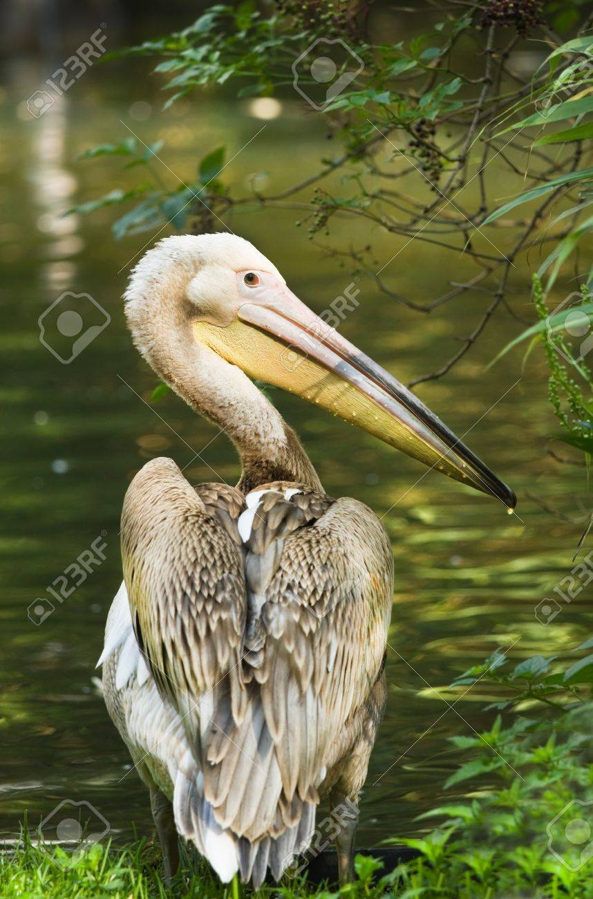 Rosy- or Great white pelican - Pelecanus onocrotalus - standing at the waterside Stock Photo - 14841200