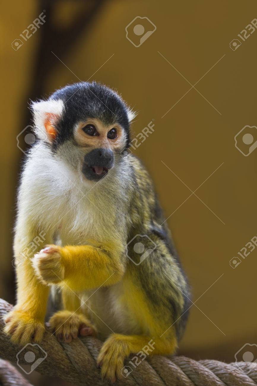 Squirrel- or Skull monkey sitting on rope Stock Photo - 25841016