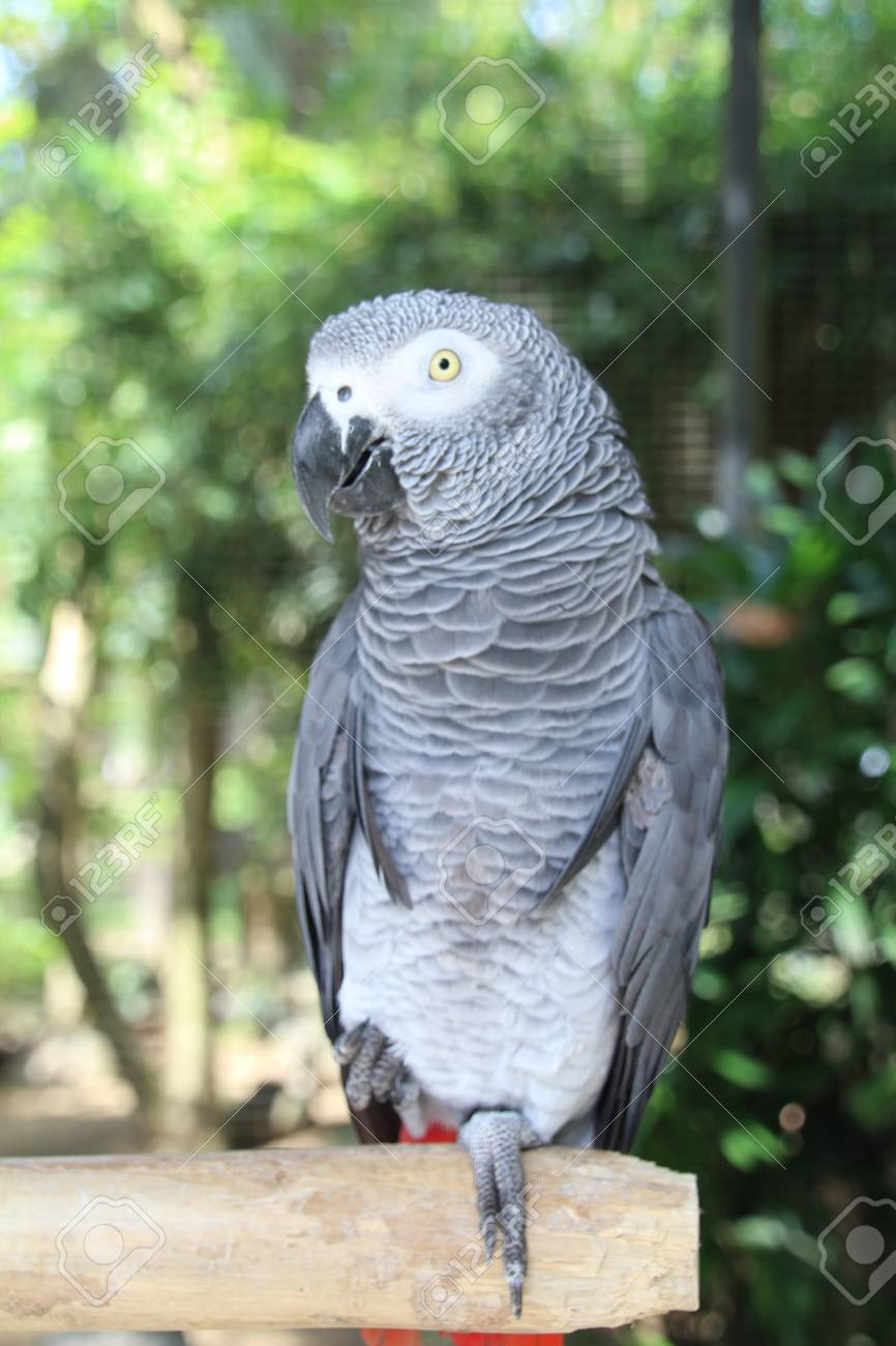 African Grey Parrot (Psittacus Erithacus)  These birds are now