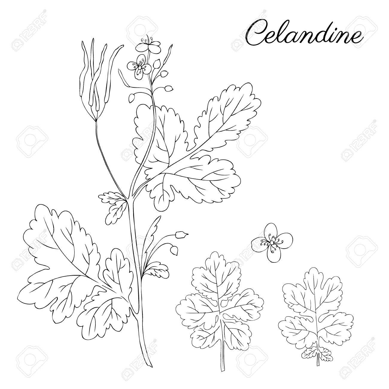 Celandine flower hand drawn graphic vector botanical illustration celandine flower hand drawn graphic vector botanical illustration doodle ink sketch isolated on white stopboris Images