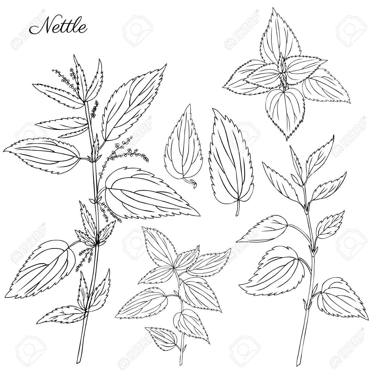 Ortie Champ Sauvage Fleur Isole Blanc Fond Botanique Dessine