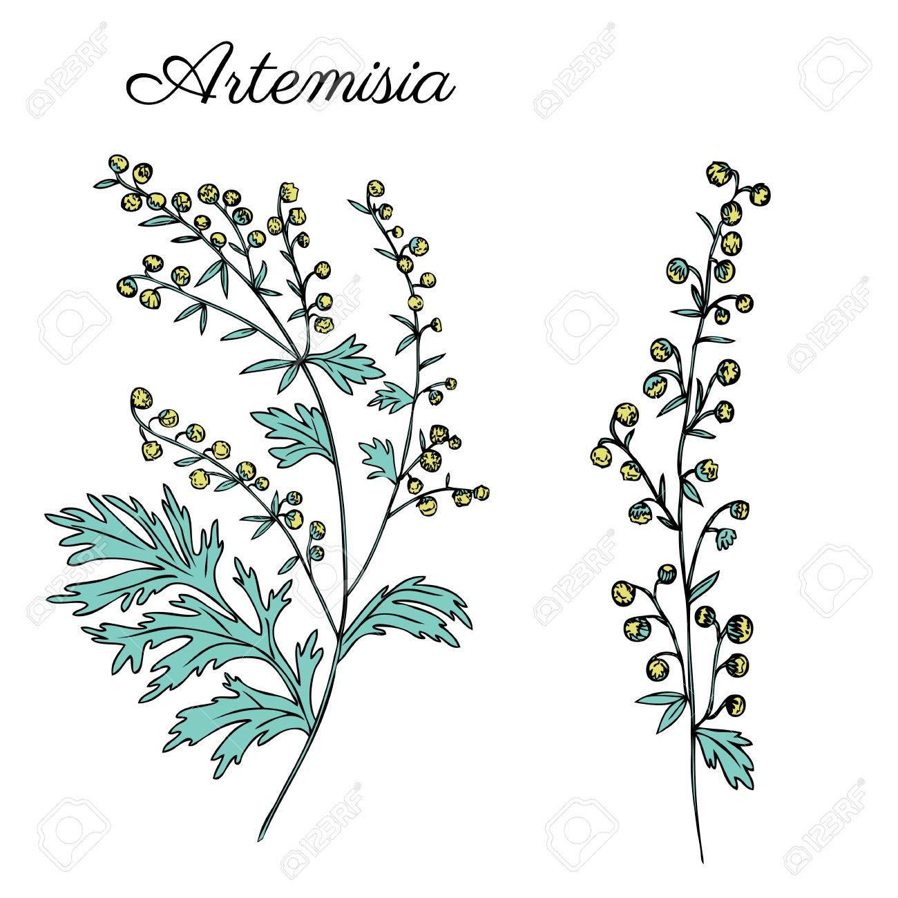 Artemisia Absinthium Wormwood Hand Drawn Vector Ink Color Sketch