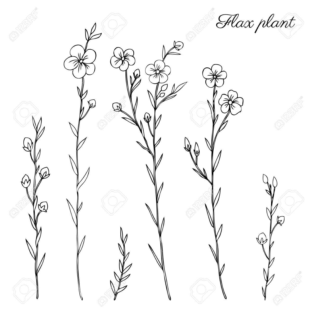 Plante De Lin, Fleur De Champ Sauvage Isolé Sur Blanc, Botanique  Illustration De Croquis Dessinés à La Main Vector Illustration De Doodle,  Dessin Au Trait