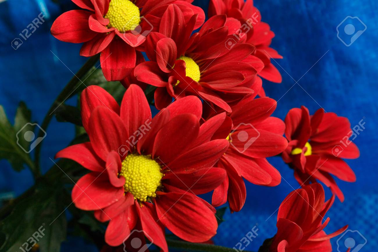 Red Chrysanthemum On A Blue Background Bouquet Of Red Flowers
