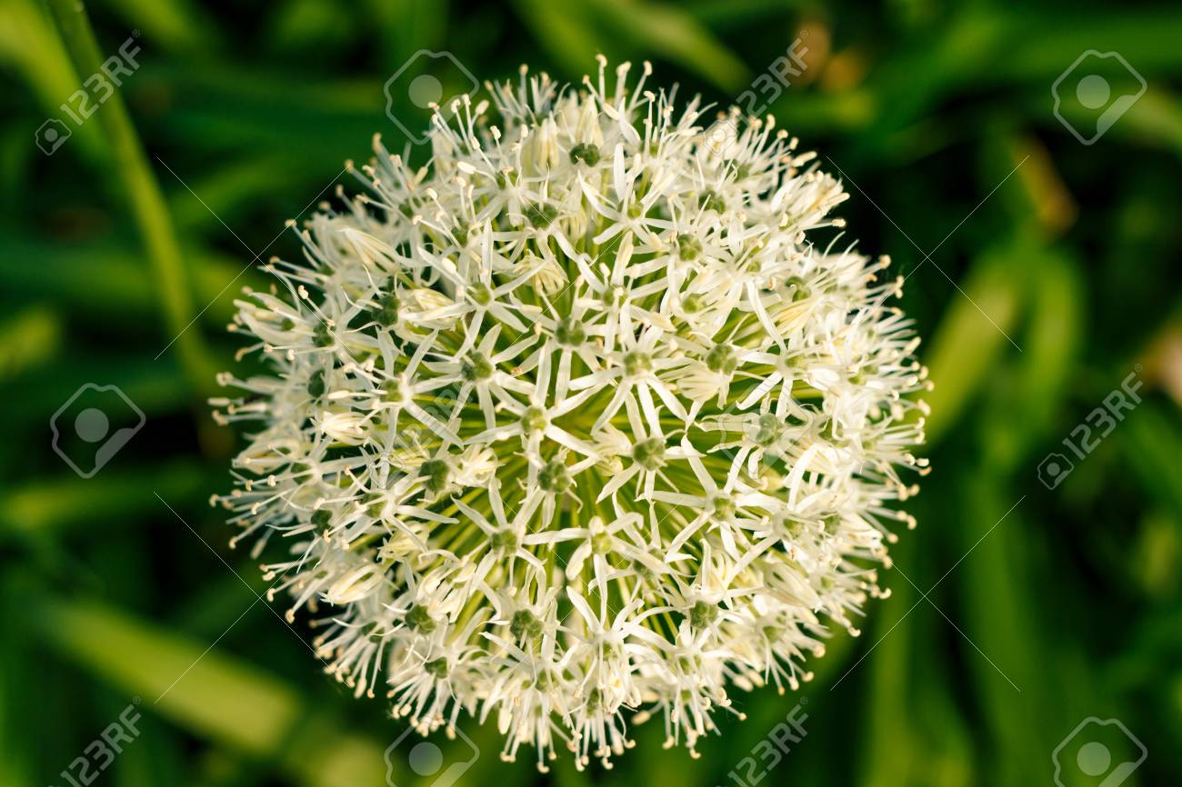 White green ball of a decorative flower a flower in the shape a flower in the shape of a sphere on a green background beautiful white allium circular globe shaped flowers blow in the wind mightylinksfo
