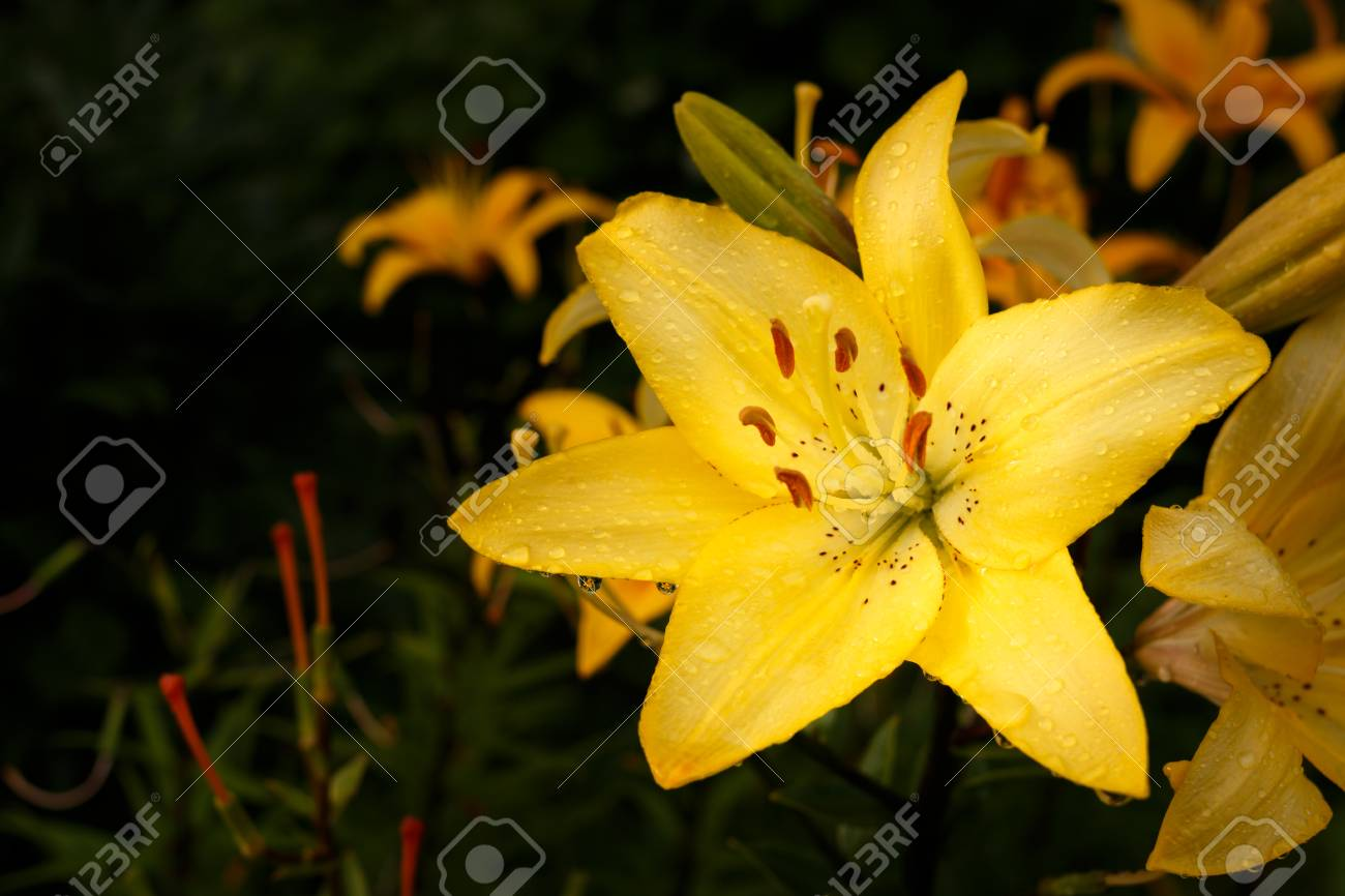 Yellow lily with raindrops lily flower in the garden after the stock photo yellow lily with raindrops lily flower in the garden after the rain beautiful garden lily lit by the setting sun izmirmasajfo