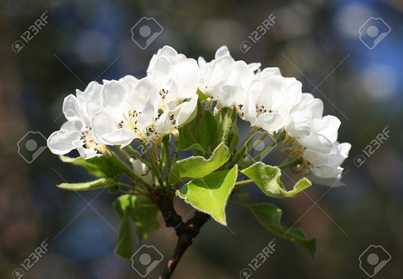 Blooming Pear Tree Single Branch With White Flowers Stock Photo