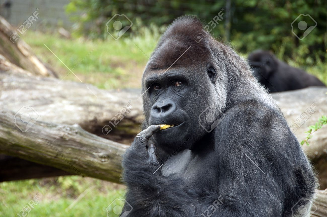 Male gorilla eating fruit in zoo Stock Photo - 9737298