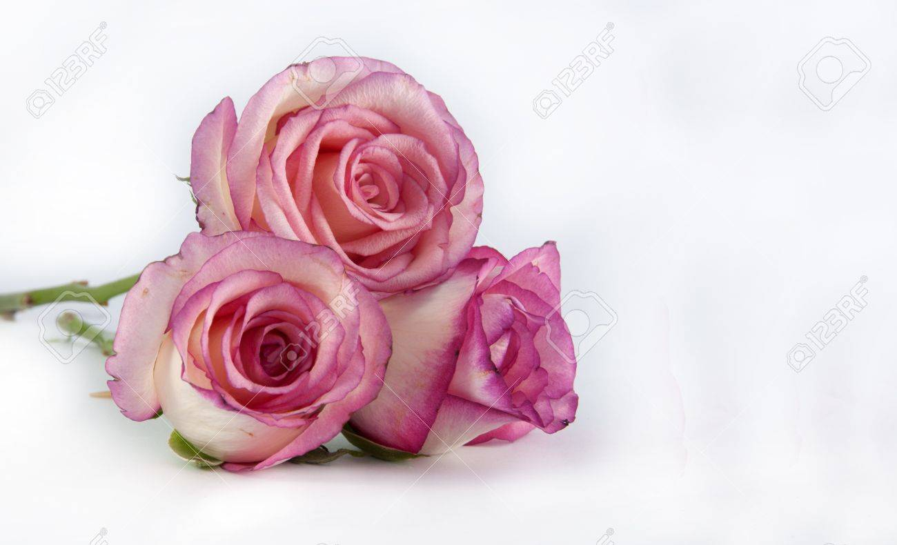 three pin k roses on isolated background - 12752237