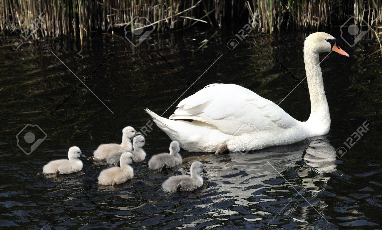 swan family with young birds - 14288817
