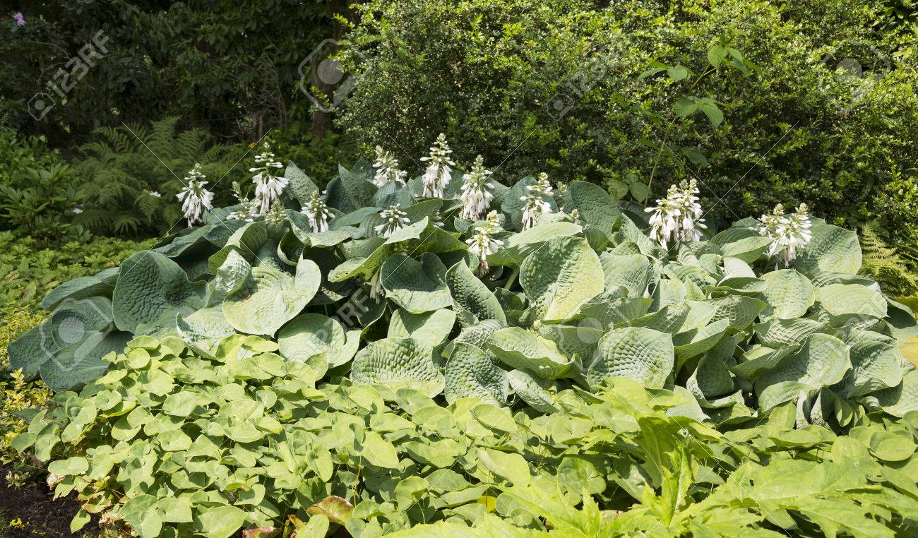 Big Group Of Hosta Plants With White Flowers In Garden Stock Photo