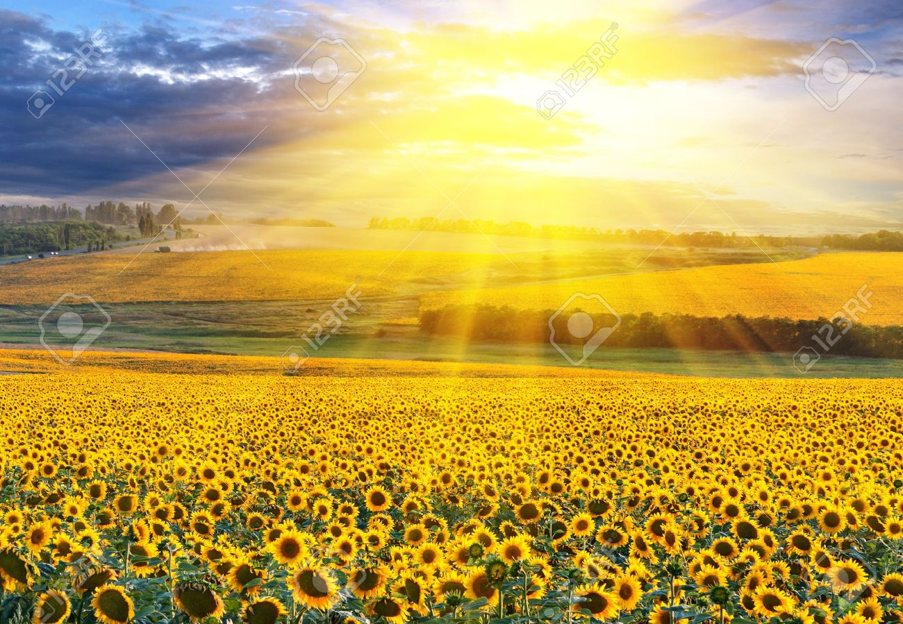 Sunset Over The Field Of Sunflowers Against A Cloudy Sky Stock Photo