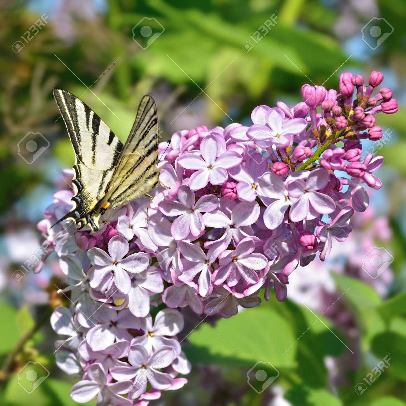 Butterfly On A Lilac Flowers In Spring Day Stock Photo Picture And
