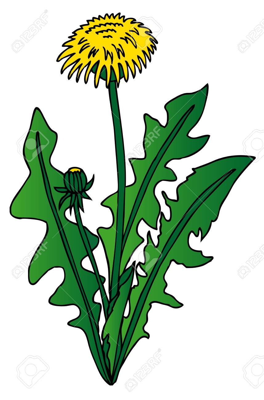 Dandelion on white background - vector illustration. Stock Vector - 16439883