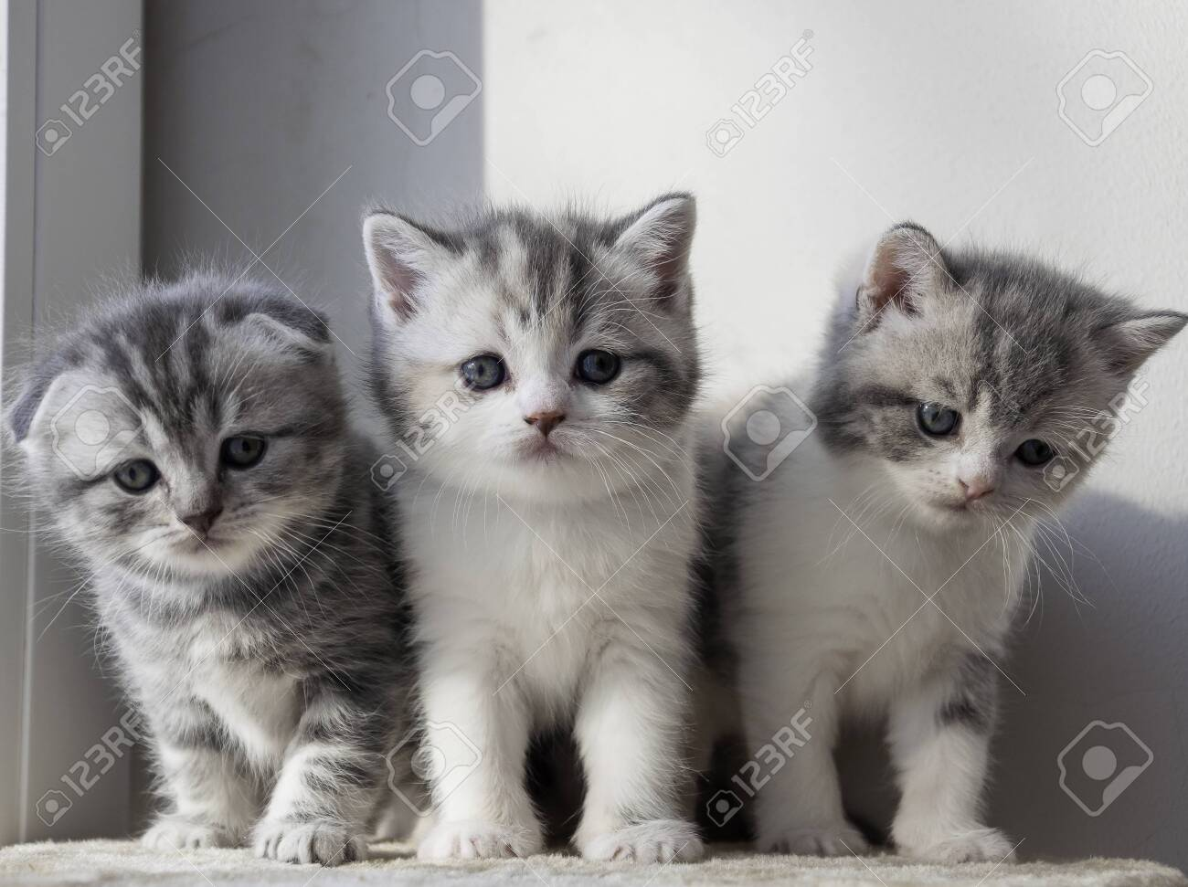 various british kittens sitting on beige plaid - 151138822