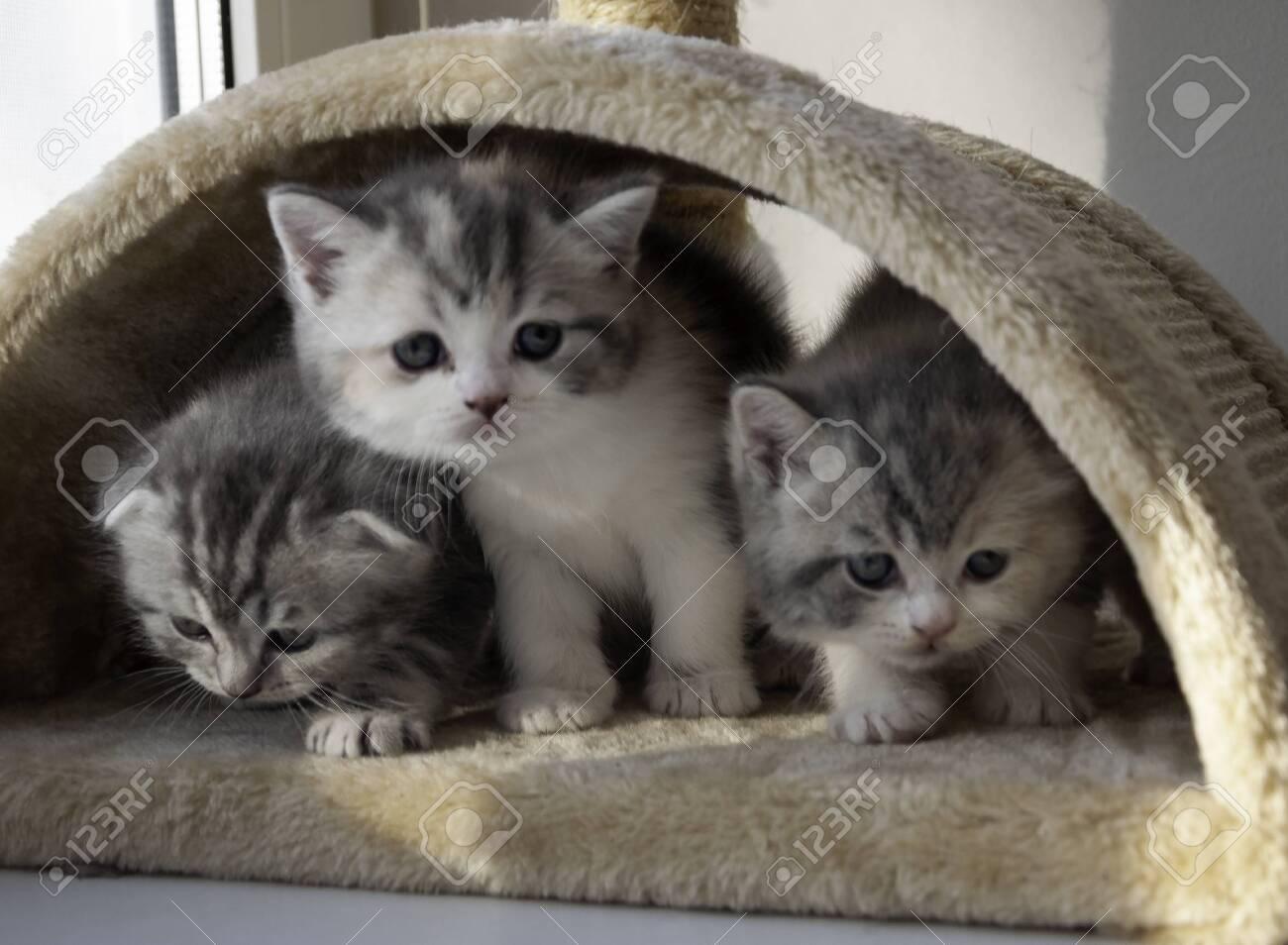 various british kittens sitting on beige plaid - 151084528