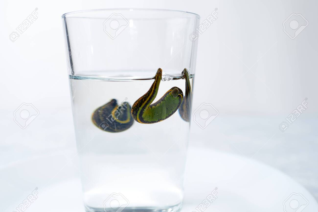 Hirudotherapy. medical leeches in a glass in water - 151797889