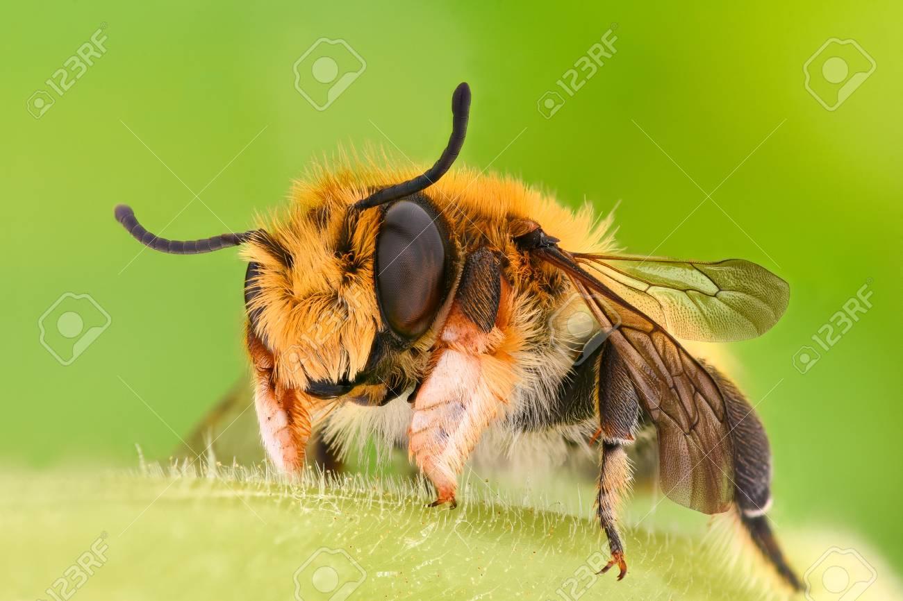 Ampliación Extrema - Solitario Abeja, Megachilidae Fotos, Retratos ...