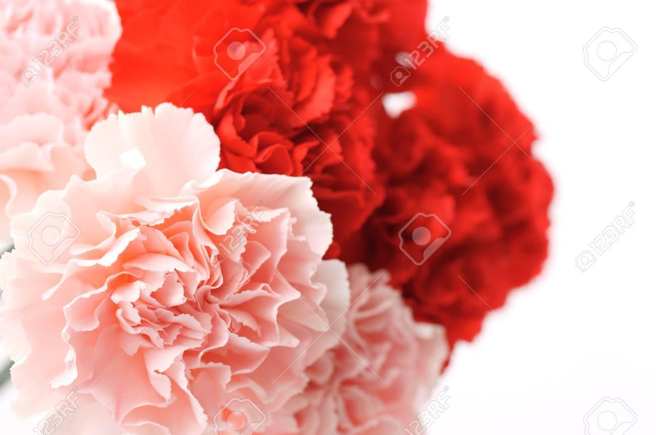 carnation Stock Photo - 13484461