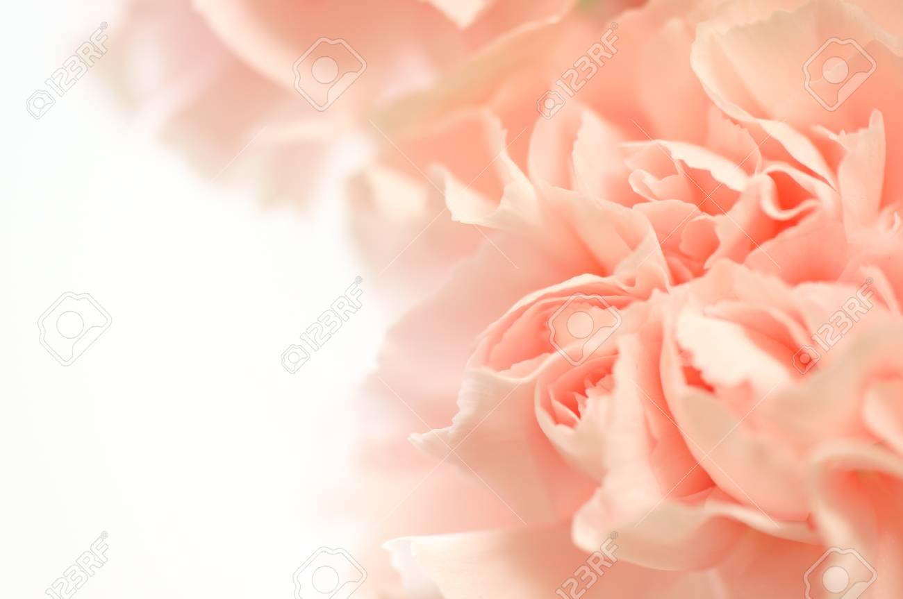 carnation Stock Photo - 13484457