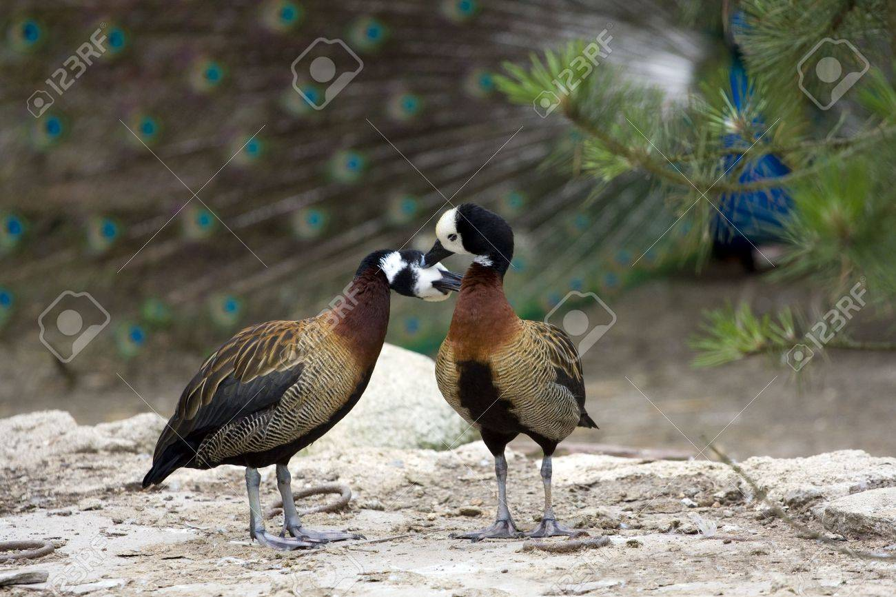Ducks in  kissing each other, standing on the rock Stock Photo - 3531888