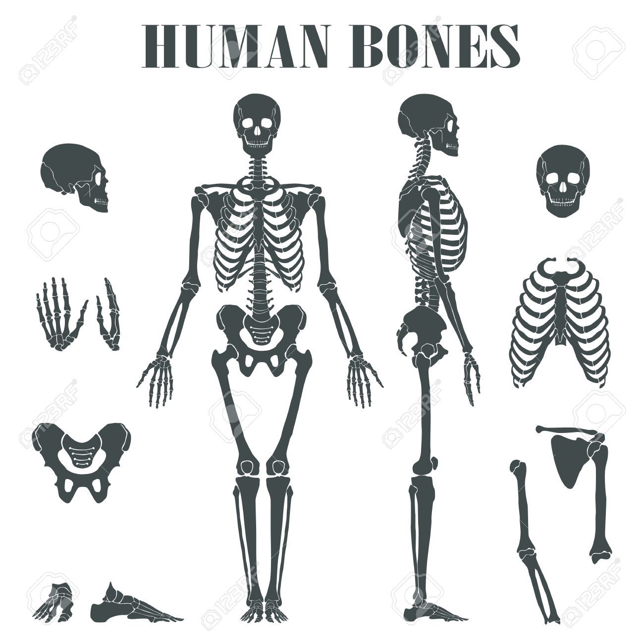 Human Skeleton With Different Parts Anatomy Of Human Body Wrist