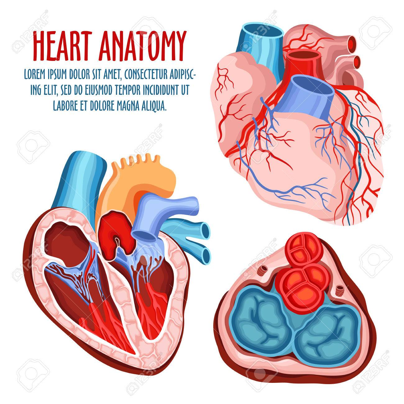Anatomy Of Heart Human Coronary Organ With Atrium And Aorta